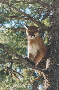mountainliontree.jpg